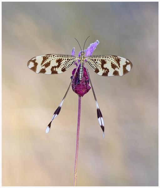 Spoonwing (Nemoptera bipennis) by KasiaB