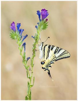 Iberian Scarce swallowtail (Iphiclides podalirius feisthameli)