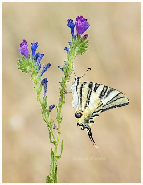 Iberian Scarce swallowtail (Iphiclides podalirius feisthameli) by KasiaB