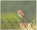 Juvenile Red-backed Shrike by KasiaB