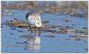 Sanderling by KasiaB