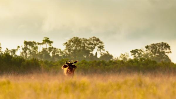 Buffalo by MichelP