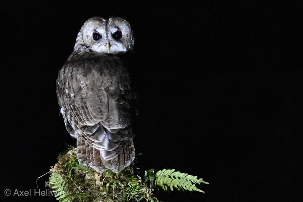 Tawny Owl by Gangelt