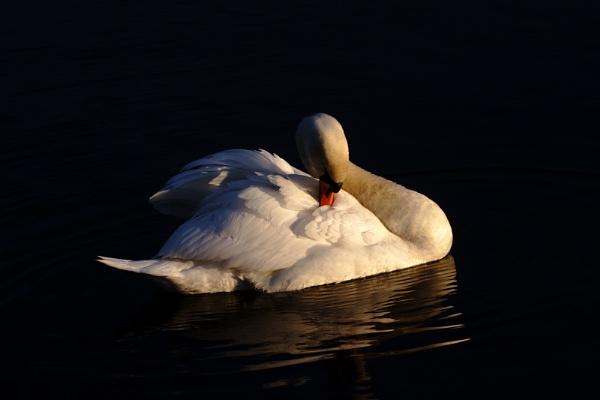 Sunset Swan by eddietheego