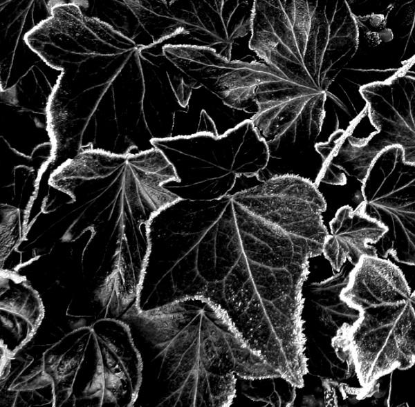 Freezing leaves by helenlinda