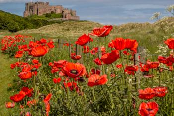 Bamburgh Castle with Poppies
