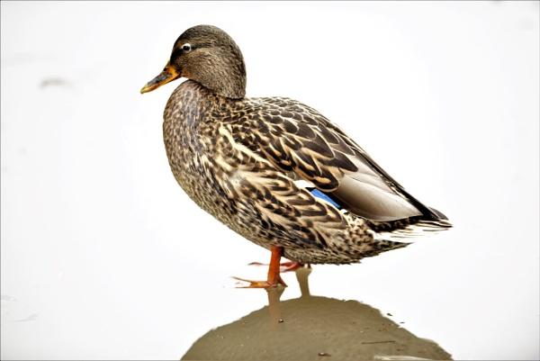 duck by MTT