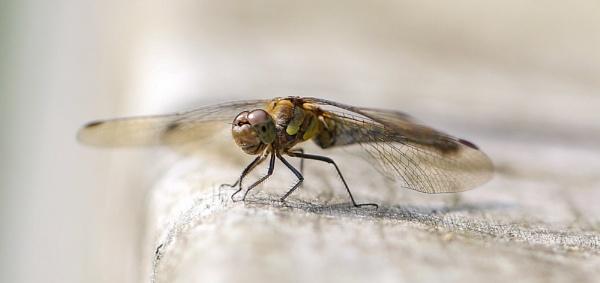 Dragon Fly by bobelle