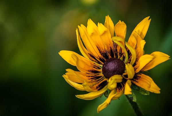 Yellow Rudbeckia Flower by skennedy