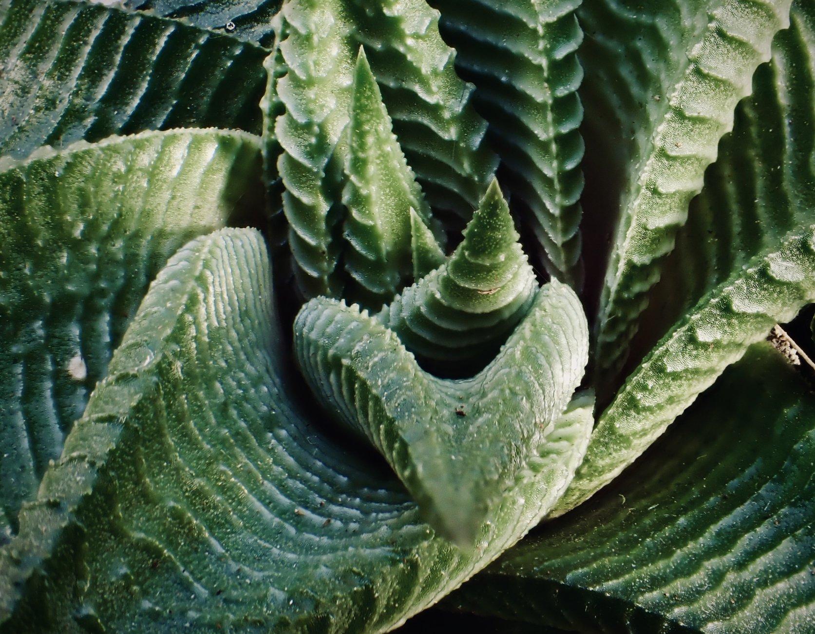 "Haworthia limifolia ""Spiralis"""