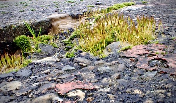 Moss on Tarmac by nclark