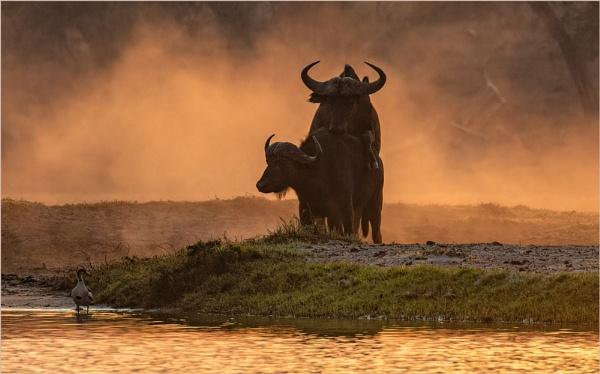 Cape Buffalo by mjparmy