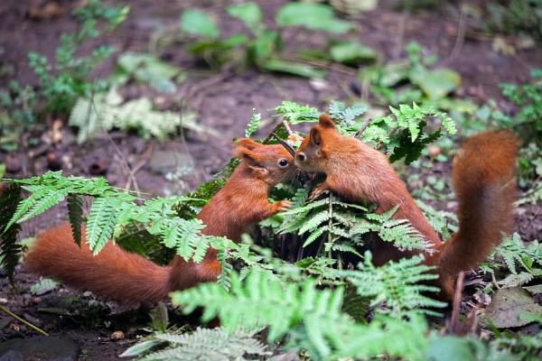Two Eurasian Red Squirrels (Sciurus vulgaris) Playing by Phil_Bird