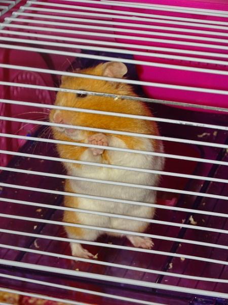 Hamster by YoungGrandad