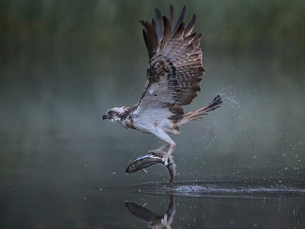 Osprey by Jamie_MacArthur