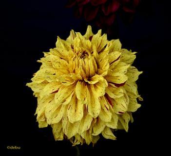 Beautiful Spotted Dahlia