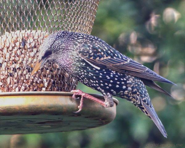 Starling by Alan_Baseley