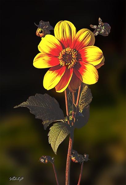 Dahlia (0316) in my garden by paulknight