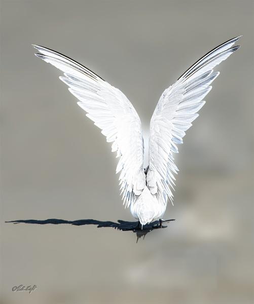Angel Wings (#1195-2) by paulknight