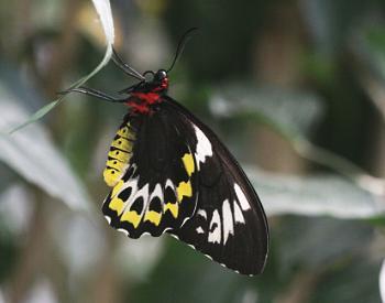 A Female Cairn's Birdwing