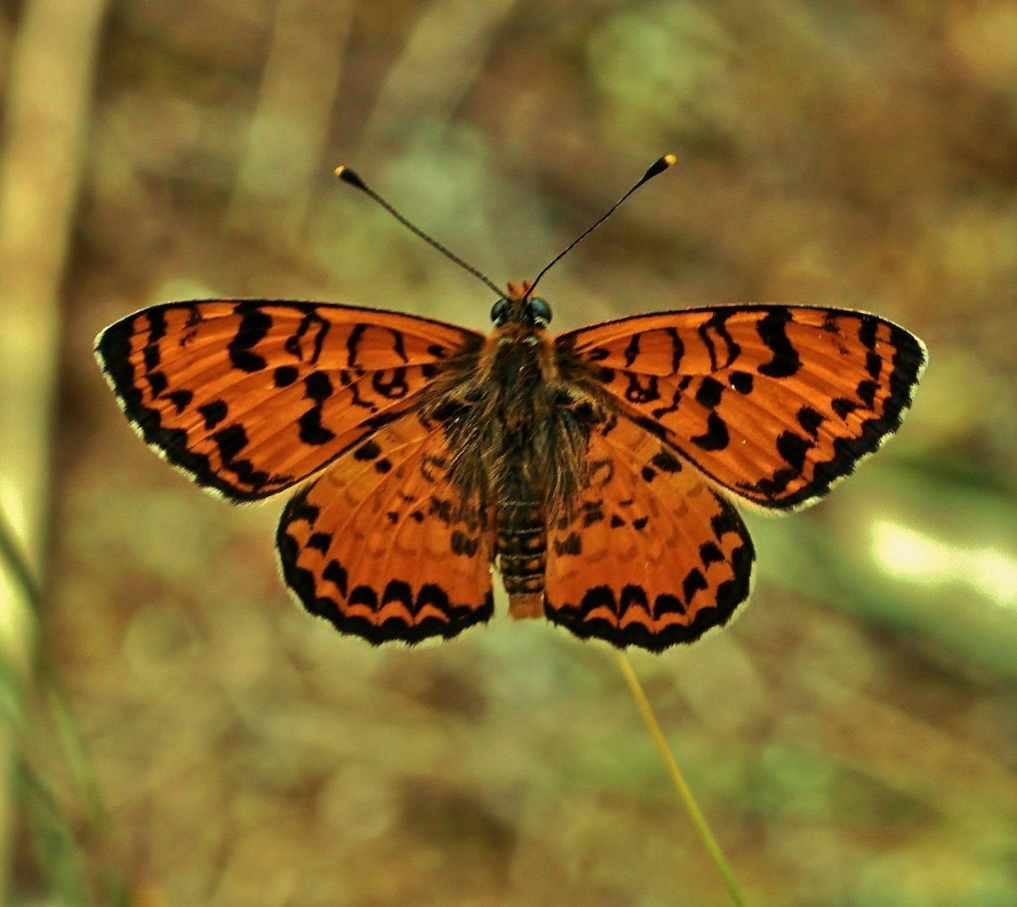 Orange Fritillary Butterfly