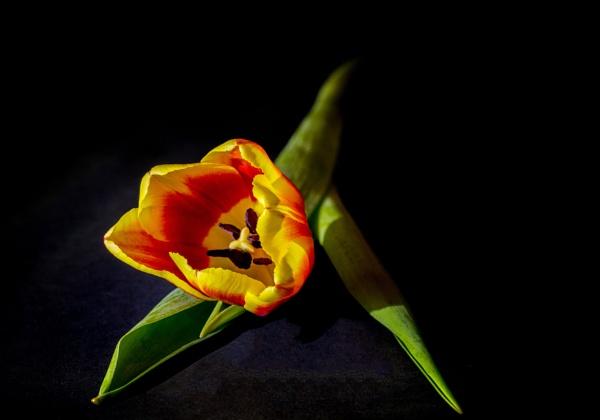 Tulip (s). by Jukka