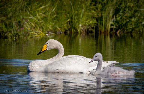 Swans. by Jukka