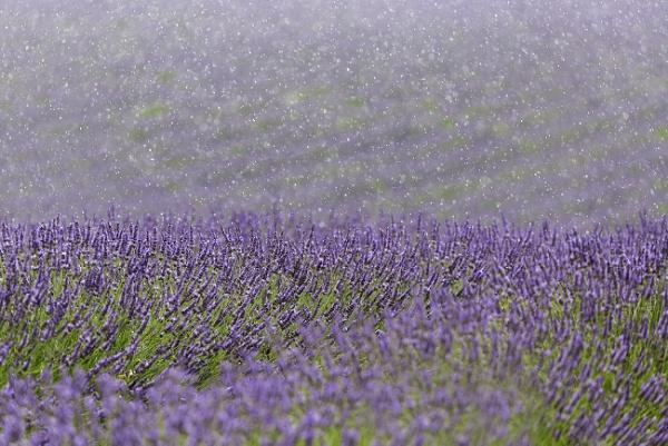 Lavender rain....