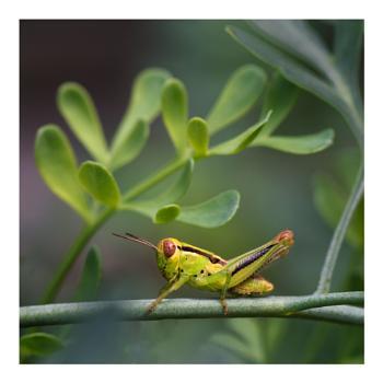 Grasshopper on Rue