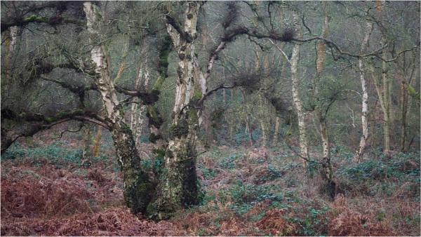 Shaggy birch tree by fredsphotos