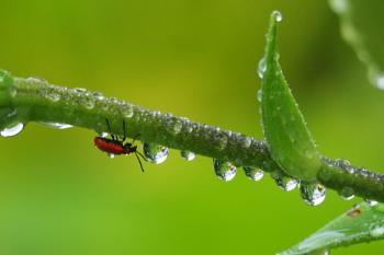 *** Ladybug ***