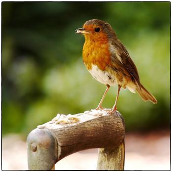 Robin, At Breakfast.