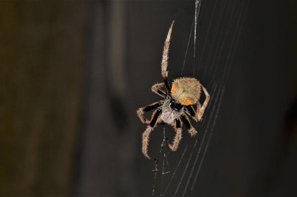 Spider by pedromontes