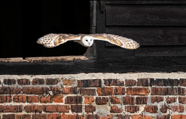 Barn Owl by suehughes