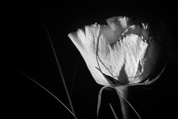 Rose_10 by konig