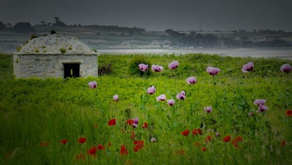 Wild Flowers on display on Ile di Batz, off the coast at Roscoff, France. by hsreid