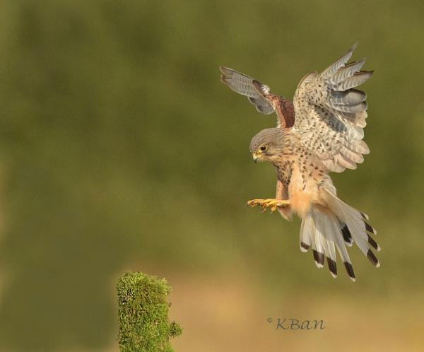 Wild Kestrel by KBan