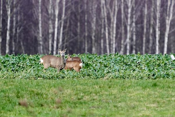 Roe-deer in farm field by LotaLota