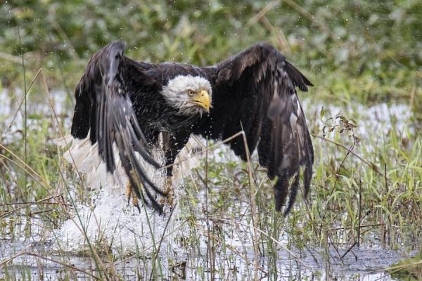 Bald Eagle emerging after a bath by BHSDallas