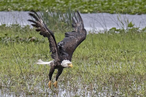 Bald Eagle emerging after a bath II by BHSDallas