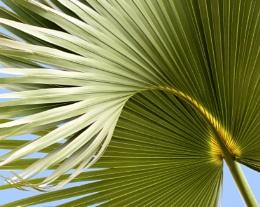 Mediterranean Fan Palm 3