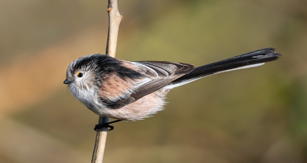 Long Tailed Tit 4 by Paintman