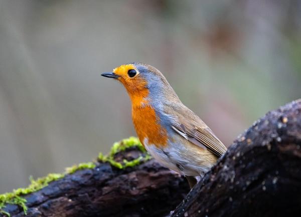 Robin by Paintman