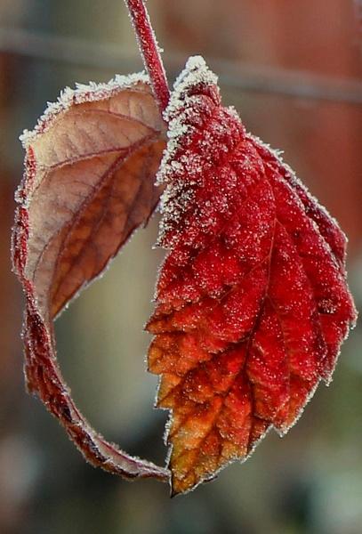 Frosty raspberry leaves by helenlinda