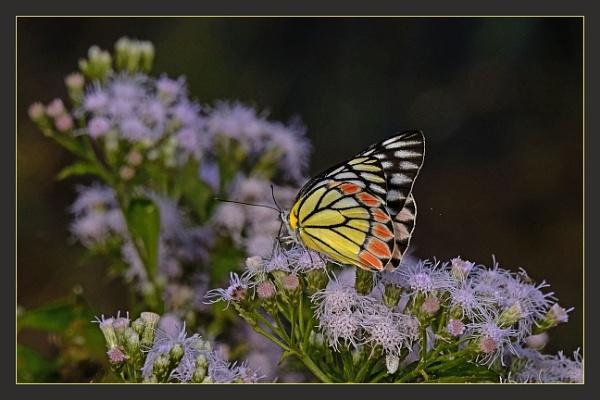 Common Zezebel by prabhusinha