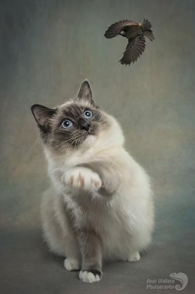 Ragdoll kitty by Angi_Wallace