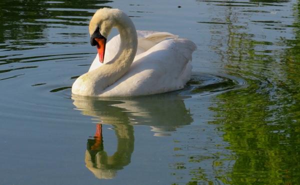 RIP Mr Swan by SUE118