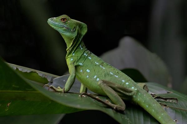Emerald Basilisk Lizard by esoxlucius