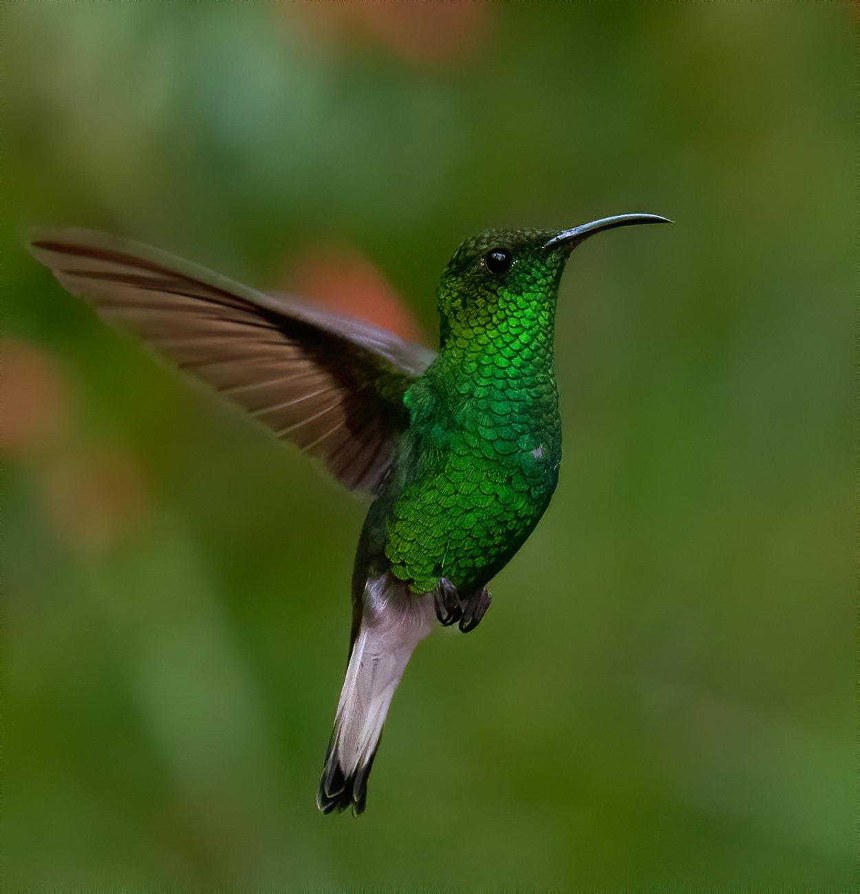 A coppery-headed emerald Hummingbird