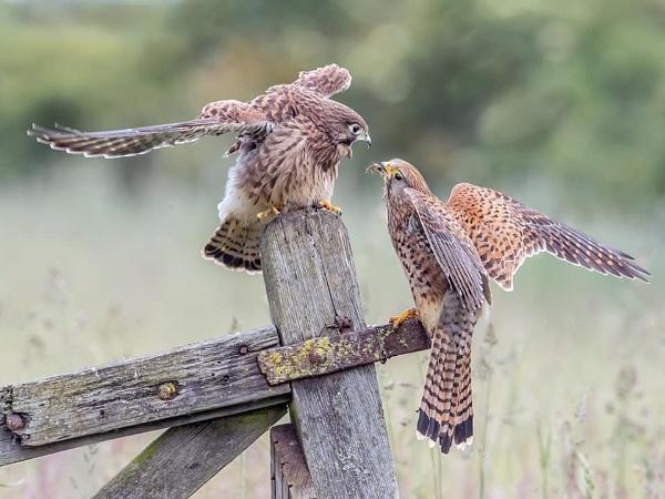 Common Kestrels feeding by Jamie_MacArthur